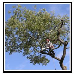 trädfällare