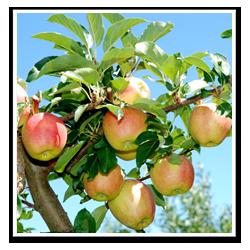 Beskärning fruktträd